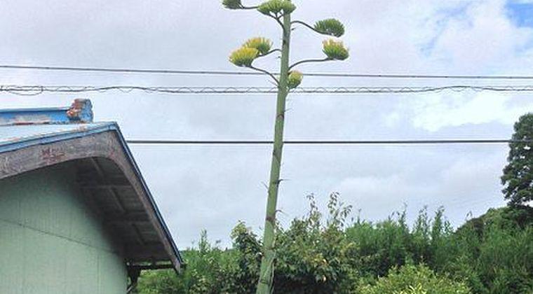 【珍しい】徳島県で「40年に1度」だけ咲く「アオノリュウゼツラン」が開花