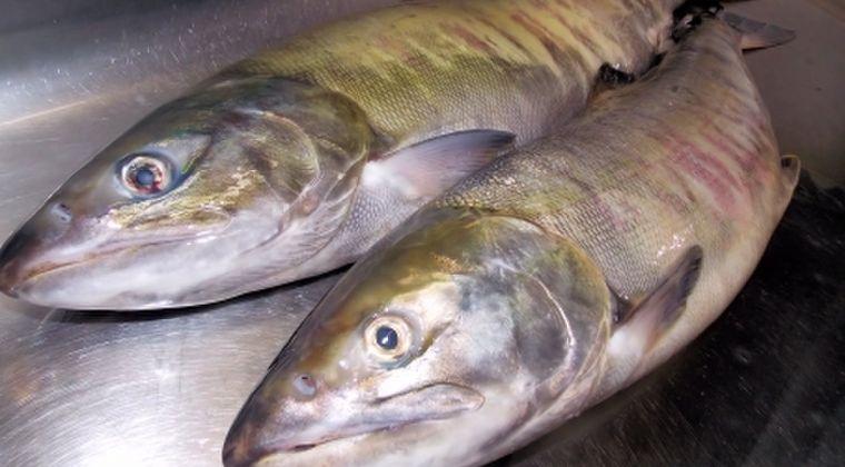 【海水温上昇】北海道の海に異変か?サンマに続き「サケ」も記録的な不漁に…網にかかるのは南国の魚シイラやブリなど