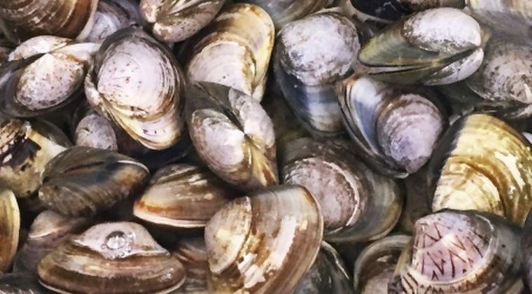 【地震前兆】千葉・九十九里浜の海岸に大量「ハマグリ」打ち上げ…およそ10km以上の広範囲にわたって発見、原因は不明