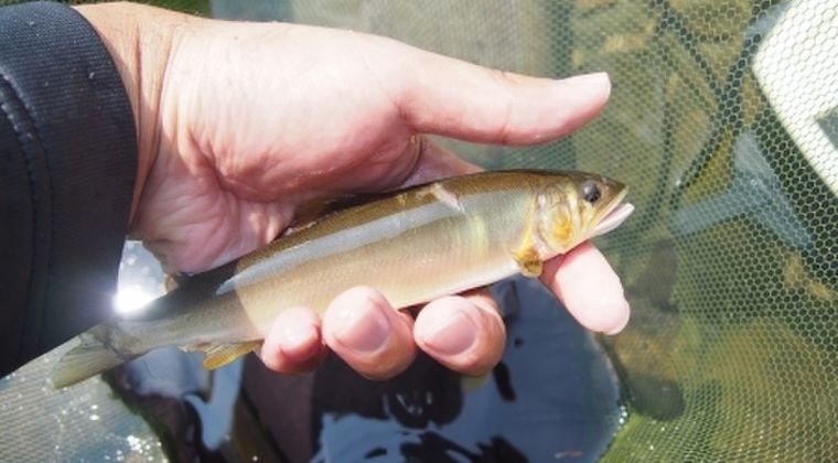 【前触れ】神奈川県・箱根に流れる須雲川で「鮎」が大量に死んでいるのが見つかる…その数、なんと「500匹」以上