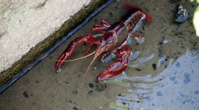 【水路】水中に赤い影「ザリガニ」が埼玉で大量発生