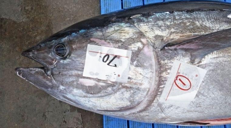 【巨大】福井県で超大物「クロマグロ」を捕獲!高浜沖で取れる、漁師らも驚愕!