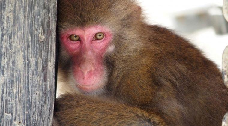 【猿の惑星】サルの脳に人間の「遺伝子」を移植したら、人間の脳のように肥大化した研究結果が報告される