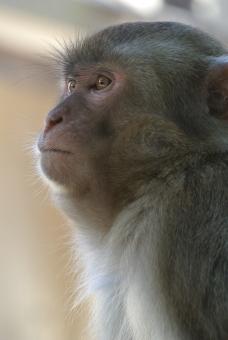 【朗報】中国「新型コロナは感染すると抗体できるので再感染しない」サルを使った実験で確認