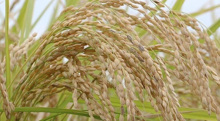 【食べて応援】福島原発事故、帰還困難区域で「初の稲刈り」で収穫