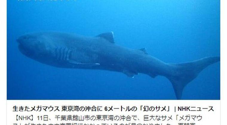 【地震前兆】幻のサメ「メガマウス」が東京湾の定置網にかかっているが見つかる…専門家「生きた姿を捉えた映像はとても珍しい」