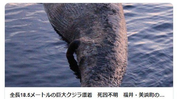 【日本海】福井県の海岸に巨大クジラが漂着!死因不明…全長18.5メートルのナガスクジラ
