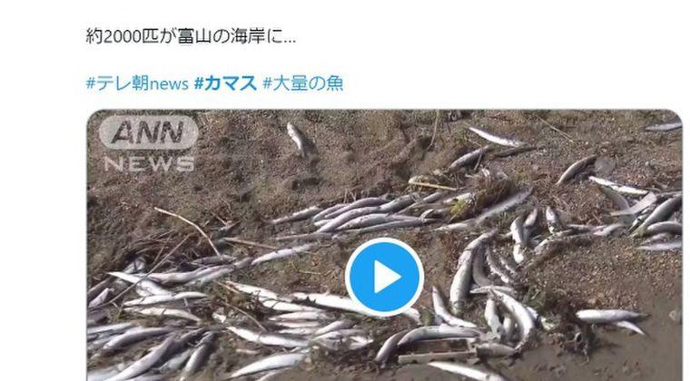 【日本海】富山県の海岸に「カマス2000匹」が打ち上げられる…地元住民「こんなの初めて見た」