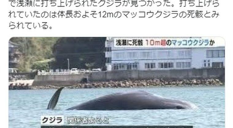 【熊本】10メートル超のマッコウクジラが天草の浅瀬に打ち上げられる!4年前の熊本地震の時も...