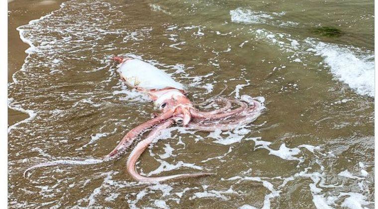 【日本海】新潟の海岸に「ダイオウイカ」が打ち上げられる…サケガシラも見つかり、深海生物の出現が相次いでいる模様