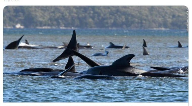 【前触れ】オーストラリアのタスマニア西海岸で「クジラ約250頭」が浅瀬に打ち上げられているのが見つかる!