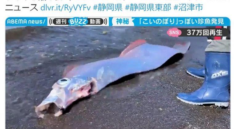 【前触れ】静岡県沼津の浜辺に「サケガシラ」が打ち上げられる…駿河湾で深海魚が相次いで発見されている模様