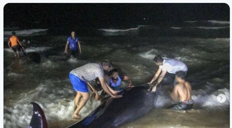 【前触れ】スリランカ西部の浜辺に「コビレゴンドウクジラ約100頭」が打ち上げられているのが見つかる!同国で漂着したクジラとしては過去最多