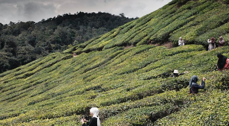 静岡県「お茶が売れねえ」 鹿児島が日本一を奪う勢いで成長