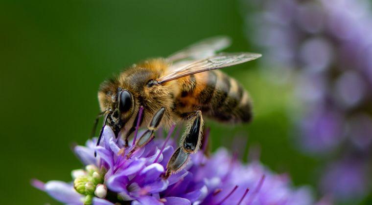 梨農家「後継者がいない!」 ミツバチ「俺達がいるぞ⊂(^ω^)⊃ブーン」