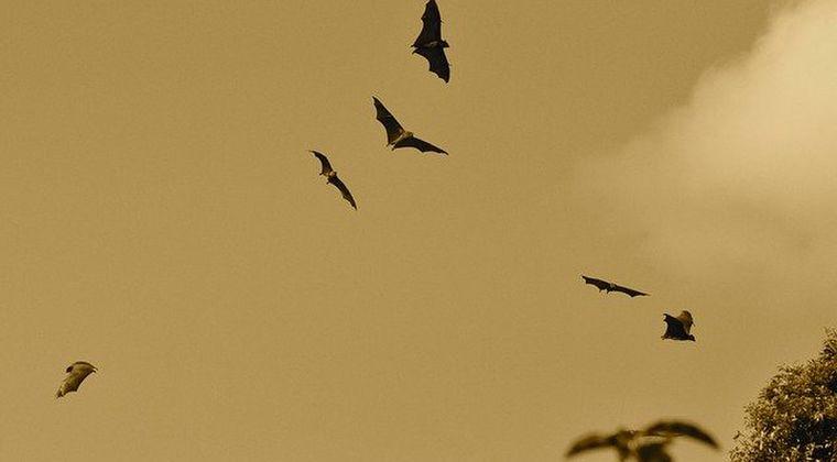 【コウモリ】インドで最も危険とされる「ニパウイルス」が発見される!このウイルスに治療法やワクチンはなく、致死率は40~75%