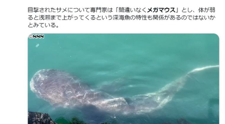 【地震前兆】幻の巨大深海サメ「メガマウス」が千葉県館山の岸壁に出現…陸からの発見は奇跡