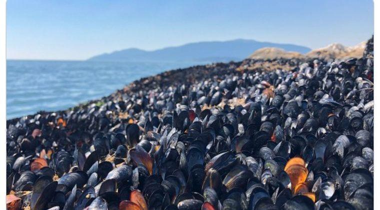 【異常事態】カナダ西岸、記録的な熱波でムール貝やアサリが大量死…海水温「51.7℃」を突破し「10億近い生物が死んだ可能性」