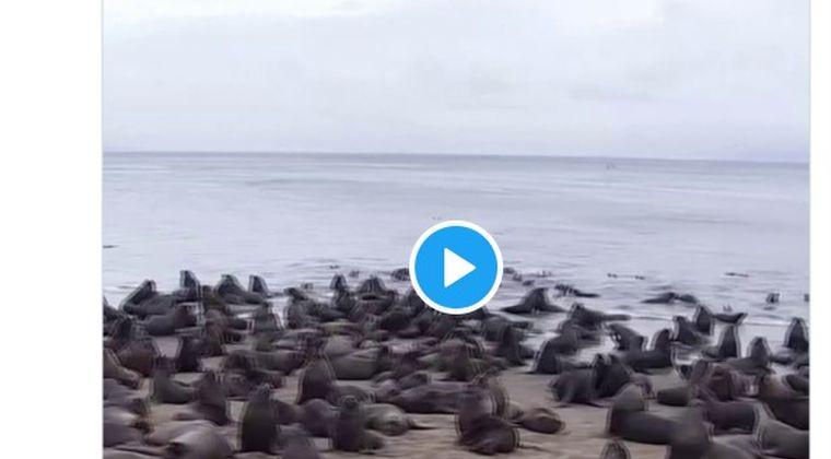 【前触れ】南米チリの海岸に「300頭以上のトド」が襲来