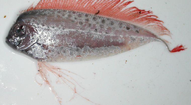 【深海】 富山でほぼ生態が知られていない深海魚「ユキフリソデウオ」と「リュウグウノツカイ」が生きたまま見つかる