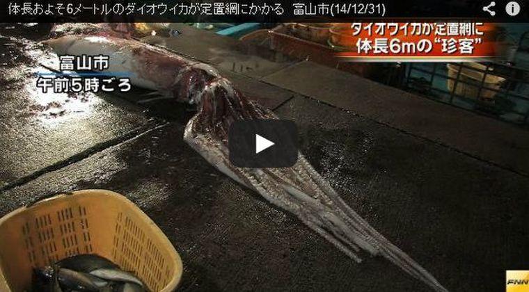【日本海】富山で6メートルのダイオウイカ捕獲