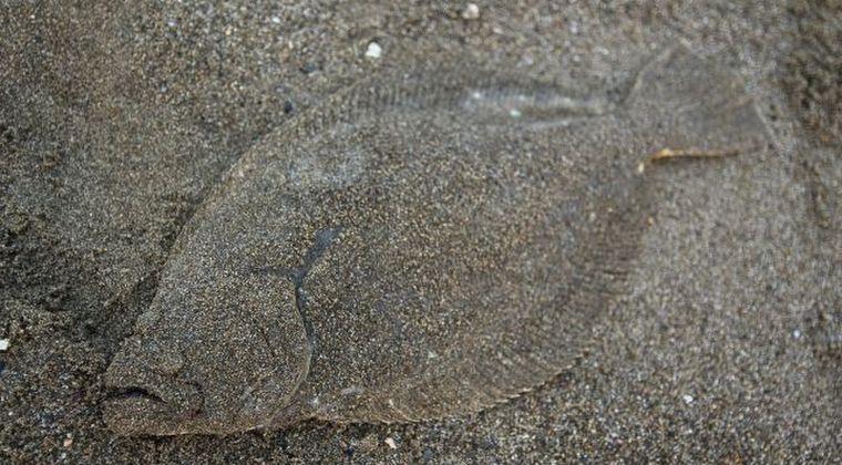 【福島県沖】根魚である「ヒラメ」の漁を9月から再開…今後、食卓へ