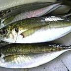 漁吉丸の鮮魚