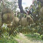 スワン・ラマイで果樹園見学とドリアン食べ放題を満喫 in ラヨーン県