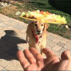 投げた食べ物を!口でキャッチするのが下手過ぎる犬が少し上達したようです…