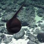 深海に潜む!音符ような謎の生物!!