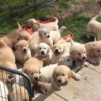 ただひたすら!大量のゴールデンレトリバーの子犬を眺める動画!!
