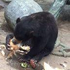 ヤシの実を食べる!マレーグマが可愛い!!