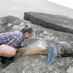 岩に!挟まったウミガメを助ける!!