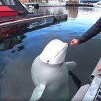ロシアの!スパイ・クジラが生息している港!!
