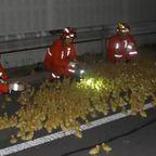 【画像】中国で大量のアヒルの雛を運搬するトラックが事故で大破…