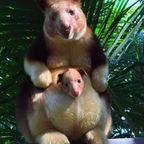 ちょっと珍しい!木登りカンガルーの親子の画像の数々!!