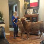 可愛い!犬と子牛と一緒に生活している画像の数々!!