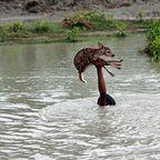 濁流に捲込まれた子鹿の助け方がワイルドすぎる少年!
