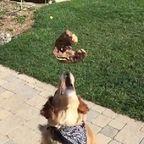 【動画】食物をなげて口でキャッチできない犬がひたすら悲しい!