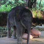 【動画】子供のゾウに懐かれると嬉しいけどちょっと困るwww