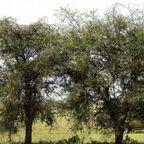 【画像】この木に近づいたら死にます…恐ろしすぎる獣が潜んでいる木。。