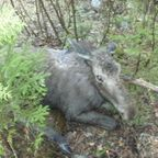 【画像】森の中で保護された巨大な鹿ヘラジカの子供が可愛い!!