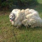 【画像】毛むくじゃら過ぎる犬が、毛刈りの時期の羊並みに凄いwww