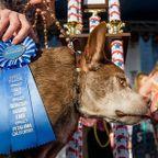 今年のブサイクなイヌ大賞の受賞犬は、いつもとちょっと違うようです。