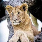 ライオンがなぜかたくさん集まって登ってしまう1本の不思議な木の画像が癒されるww