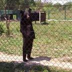 【動画】入っているタイプ?入っていないタイプ?人間が入ったヌイグルミのように歩くクマが凄い!!