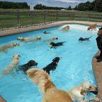 【動画】プールが好き!水泳が大好きな犬の集団でプールが大混乱!!