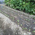 2018秋冬野菜の育ち