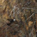 猛禽類(ハヤブサ/オオタカ/サシバ/クマタカ/アオバズク/チョウゲンボウ)