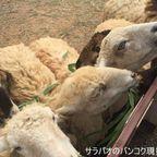 チョクチャイ牧場で羊に癒されてきた in コラート